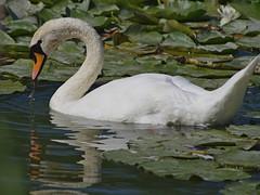 1489-14L (Lozarithm) Tags: caenhill devizes wilts swans k5 pentax sigma zoom 70300 sigmaaf70300mmf456apodgmacro justpentax