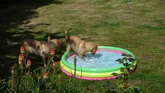 Where did that ball go?..x (Lisa@Lethen) Tags: video clip dogs labradors pool playing water ball garden summer heatwaveuk heatwave2018 heatwave