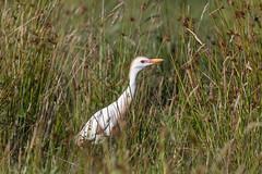 Cattle egret (Steve Balcombe) Tags: bird heron cattle egret breeding plumage catcott heath burtle somerset levels uk