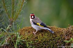 Cardellino _002 (Rolando CRINITI) Tags: cardellino uccelli uccello birds ornitologia montebaldo natura