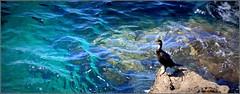 à l'ombre ou dans l'eau... (Save planet Earth !) Tags: france nice mer oiseau bird cormoran amcc nikon