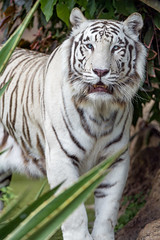 Cute male white tiger posing well (Tambako the Jaguar) Tags: tiger big wild cat male whitetiger plants vegetation portrait posing standing openmouth cute loroparque tenerife spain nikon d5