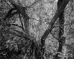 Twisted Branches and Ivy (Hyons Wood) (Jonathan Carr) Tags: ancient woodland rural northeast black white bw monochrome landscape 4x5 5x4 walkertitansf largeformat