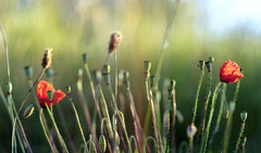 Popping up (Wouter de Bruijn) Tags: fujifilm xt2 fujinonxf56mmf12r poppy poppies flower flowers bokeh depthoffield macro sunrise morning green blooming bloom red nature walcheren zeeland nederland netherlands holland dutch outdoor grass