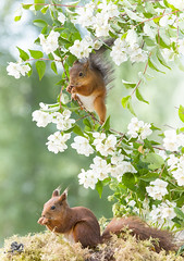 red squirrels are standing with jasmine branches (Geert Weggen) Tags: animal animalfamily backgrounds balance beautyinnature blossom botany branchplantpart cheerful closeup cute flower flowerhead fragility freshness greencolor growth herb herbalmedicine homeopathicmedicine honey horizontal insect jasmine meadow nature nopeople outdoors photography plantstem pollination red rodent smiling squirrel summer sweden tranquilscene uncultivated wildflower vertical duo pair two bispgården jämtland geert weggen ragunda