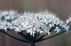 (barrygoble) Tags: macro seed head plant artistic countryside bokeh