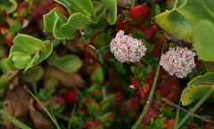 Eriogonum (Wolfram Burner) Tags: scgis asilomar asp calstateparks wildflowers california beachflowers duneflowers