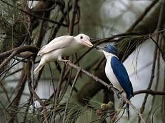 White-collared Kingfisher (leucistic) _ East coast park ☺ (mahi mahi 163) Tags: kingfisher 600mm singapore