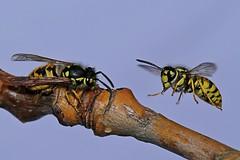 Gisela_Nagel-Fl-9913-Deutsche Wespe (giselasfotos) Tags: schweden sverige wespe deutschewespe wasp vellinge