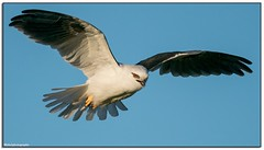 Black-shouldered Kite (Mykel46) Tags: birds bif nature wildlife sony sky flight b7w black white kite flying blue a9 100400mm outside outdoor outdoors coorong national park goolwa