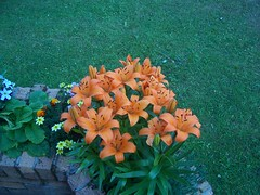 Beautiful Lillies, Lairg, Sutherland, July 2018 (allanmaciver) Tags: lillies flower colour lairg sutherland scotland admire enjoy delight allanmaciver