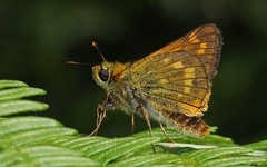 Large Skipper ( Ochlodes sylvanus) 160718 (Richard Collier - Wildlife and Travel Photography) Tags: wildlife naturalhistory nature macro closeup insects british britishinsect butterflies largeskipper ochlodessylvanus