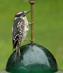 Downy Woodpecker male_28Jun2018 (Bob Vuxinic) Tags: bird cumberlandplateau crossvilletennessee downywoodpecker picoidespubescens male 28jun2018