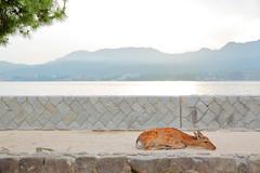 9L1A9520 (vicjuan) Tags: 20180527 日本 japan 広島県 廿日市市 宮島町 geotagged hiroshima hatsukaichi itsukushima