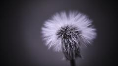 Fluffy (micke.vmix) Tags: carlzeiss zeiss planart1450