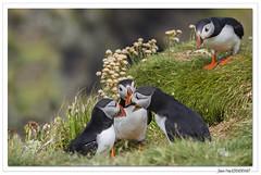 Balade écossaise : sérieuse discussion ! (C. OTTIE et J-Y KERMORVANT) Tags: nature animaux oiseaux macareuxmoine lunga mull ecosse