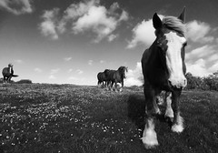 Que fais -tu dans les pâquerettes ? (Marie Jestin) Tags: jument cheval bretagne finistere pature champs fleur paquerettes vent wind nuage cloud nb rural sky flowers field nature walking natura light lumière blackandwhite horse horses dog chien