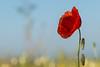 Poppy (Aubin CHALAND) Tags: poppy coquelicot fleur flower nature flou leica