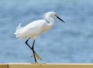 Snowy Egret 4-9-18