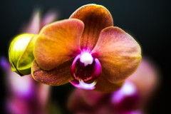My newest Orchid (judy dean) Tags: judydean 2018 orchid houseplant lensbaby velvet56