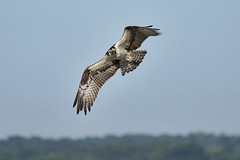 _A734951 (bram-sowers) Tags: sonyfe2470gm sonyfe100400mmgm sonya7riii warsawvirginia rappahannockriver eagle osprey tycho chez