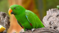 Green - 5366 (ΨᗩSᗰIᘉᗴ HᗴᘉS +19 000 000 thx) Tags: parrot perroquet vert green bird oiseau hensyasmine namur belgium europa aaa namuroise look photo friends be wow yasminehens interest intersting eu fr greatphotographers lanamuroise tellmeastory flickering