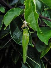 At the risk of boring you.. (Anni - with camera -) Tags: katydid bush cricket tettigoniidae inmygarden linnaeus bushcricket orthopteron nymph grasshopper