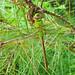 Common green darner, female (Anax junius)