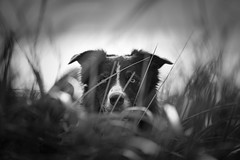 Mr Paddy (JJFET) Tags: border collie dog dogs sheepdog