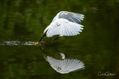 Missed! (craig goettsch - out shooting) Tags: sixmilecypresspreserve sanibel2018 snowyegret avian reflection green bif animals nature wildlife nikon d850