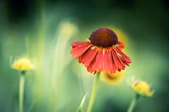 Orange! (Lindsey1611) Tags: orange flower summer petals sundaymacrochallenge helminghamhall garden suffolk
