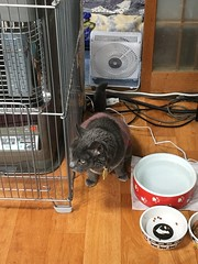 """Is he over there?"" (sjrankin) Tags: 22june2018 edited animal cat argent floor kitchen gate fence heater food bowl water yubari hokkaido japan"
