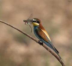 Abejaruco europeo (Antonio Lorenzo Terrés) Tags: fauna aves abejaruco pájaro bird naturaleza nature