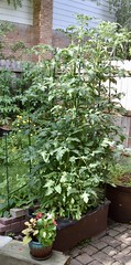 Mortgage Lifter & Gold Medal heirloom tomatoes grown in an Earthbox (Tatiana12) Tags: tomatoes michigan heirloom annarbor garden gardening urbangarden earthbox gardenjournal 2018 june