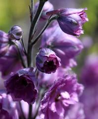 Purple (Alex Mary) Tags: flowers flower colour nature kew purple canon macro summer flora outside garden gardens london