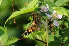 Vanessa cardui (ryorii) Tags: farfalla farfalle butterfly vanessacardui vanessadelcardo wild wildflower papillon