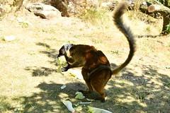 eulemur macaco (Joachim S. Müller) Tags: mohrenmaki eulemurmacaco eulemur blacklemur lemur maki affe monkey primat primate säugetier mammal tier animal zoo dresden sachsen saxony deutschland germany zoodresden