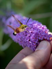 The small one... (holgerreinert) Tags: 2018 flieder gx80 garten insects insekten juni mzuiko oly60 schmetterlingsflieder sigma60 sommerflieder wohnanlage