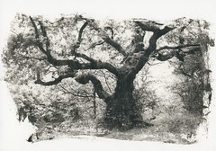 Oak (Mark Dries) Tags: markguitarphoto markdries darkroomprint washi foma liquidemulsion a4 4x5 graflex crowngraphic fomapan 100iso largeformat xtol11 800