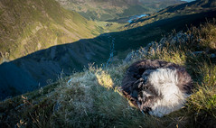 Cold Comfort (JJFET) Tags: border collie mountain dog dogs sheepdog herding