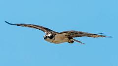 Osprey #103 (lennycarl08) Tags: raptor hawk birds bird birdofprey northerncalifornia eastbay osprey