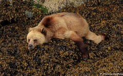 Grizzly Bear (Ursus arctos horribilis) - Knight Inlet, BC (bcbirdergirl) Tags: knightinlet bc grizzlybear grizzly boar male adult sleepy snoozing chilling relaxing netflixandchill chill ursusarctoshorribilis