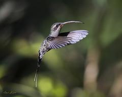 Green Hermit (Phaethornis guy) (Frank Shufelt) Tags: greenhermit phaethornisguy hummingbird trochilidae hummingbirds aves birds wildlife elensueño circasia quindío colombia southamerica 20180704 july2018 3453