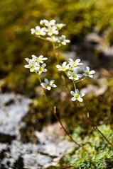 Montagne en fleurs (Ariège) (PierreG_09) Tags: saxifrageenpaniculessaxifragepaniculéesaxifrageaïzoonsaxifragapaniculata ariège pyrénées pirineos couserans quotaulus les bainsquot coumebière flor flore fleur plante occitanie