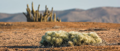 Cylindropuntia tunicata (José L.Gutiérrez) Tags: nikon d7100 nature naturaleza fisheye reflex mirror landscape paisaje 10mm atacama chile desierto desert 200mm panorama flora