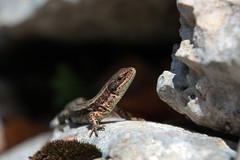 IMG_2832 (Laurent Lebois ©) Tags: laurentlebois france reptile rettile reptil рептилия lézard lizard lucertola lagarto eidechse ящерица sauria hepetology herping doubs jougne montdor jura