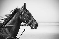 """Trophée des plages...""""Explore """" (De l'autre côté du mirOir...) Tags: trophéedesplages hippodrome•plestinlesgreves•saintefflam bretagne bzh breizh brittany fr france french nikon nikkor d810 nikond810 noiretblanc noirblanc nb blackwhite bw négroyblanco monochrome côtesdarmor cheval explore"""