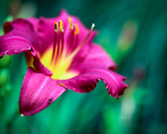 Ant (Lytography) Tags: ant macro macromonday flower daylillies lillies lily daylily hemerocallis pink floral flowers yellow bokeh