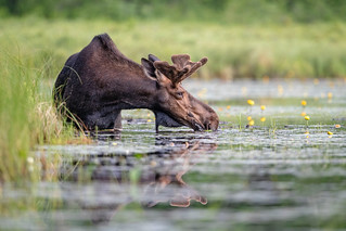 Maine Moose...