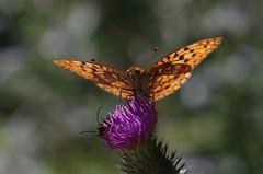 IMGP2721 (horschte68) Tags: schmetterling butterfly kaisermantel panagormacro90mm11f28 macro makro closeup bokeh distel thistle dof depthoffield outdoor sommer summer composition manualfocus primelens papillon pentaxk50